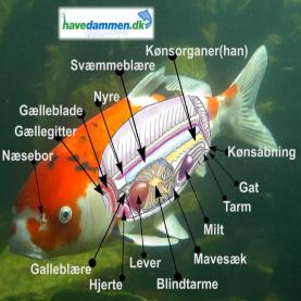 Sådan fungere en fisk i havedammen med fiskens anatomi