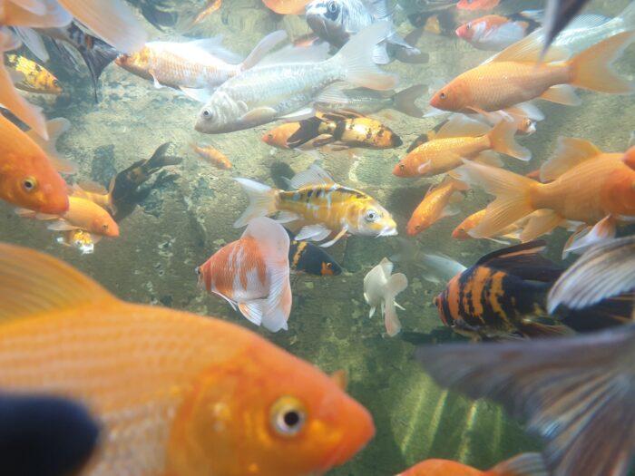 Mange guldfisk til havedammen