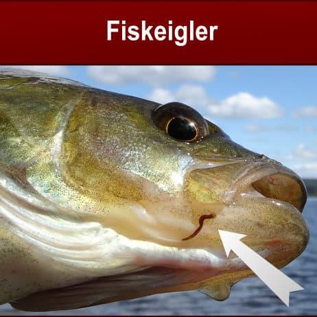 fiskeigler på fisk