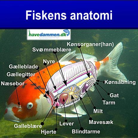 Fiskens Anatomi i havedammen