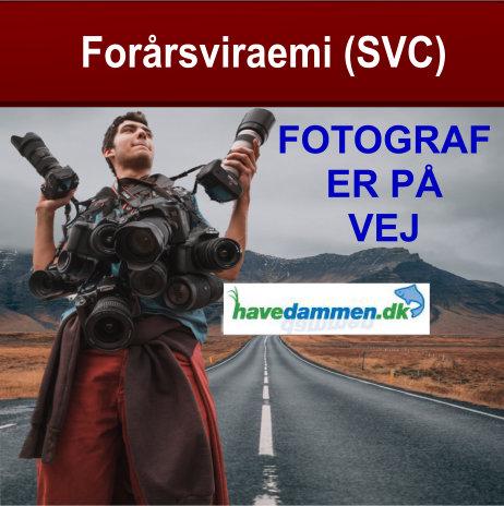 Forårsviraemi (SVC)