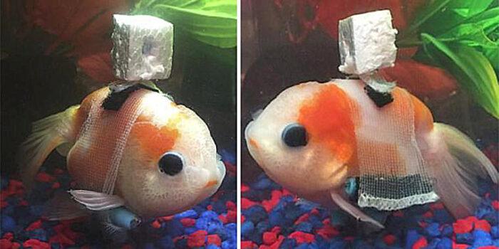 Guldfisk kunne ikke svømme