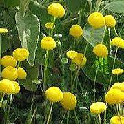 Guldknop flydeplante