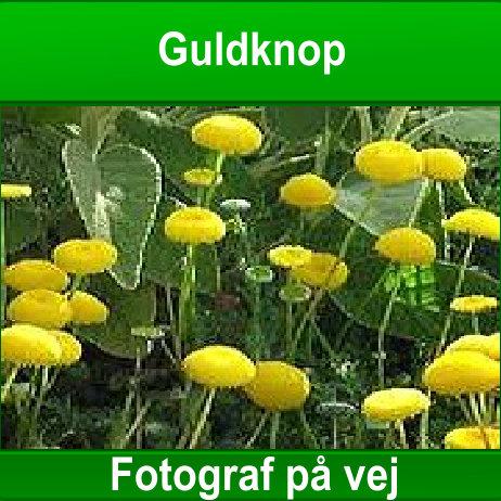 Guldknop flydeplante til havedammen