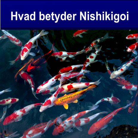 Koi – Nishikigoi hvad betyde det