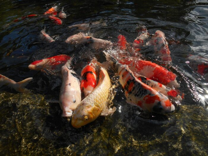 Fiskens parringsadfærd -Koi karpe parre sig i havedam - Foto Yuzu fra Pixabay