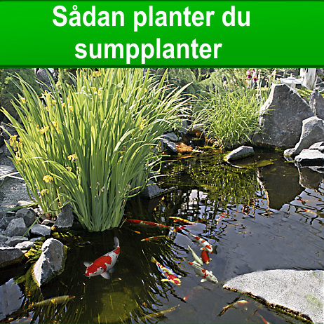 Sådan planter du sumpplanteransen