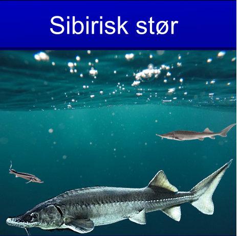 Sibirisk stør