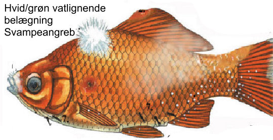 Skimmelsvamp på fisk