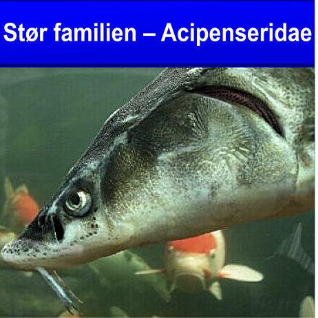 stør familien Acipenseridae