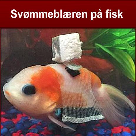 svømmeblæren på fisk