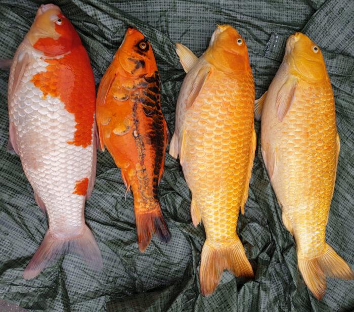 døde fisk