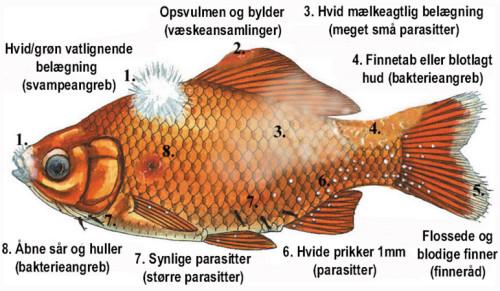 Symptomer på fiskesygdomme