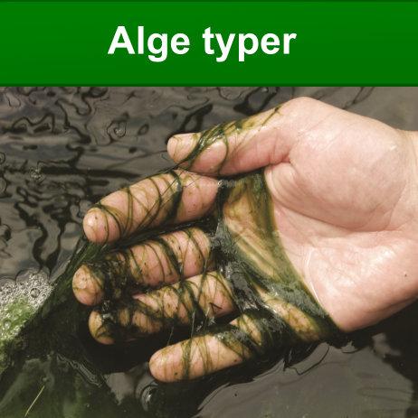 hvilken algetyper