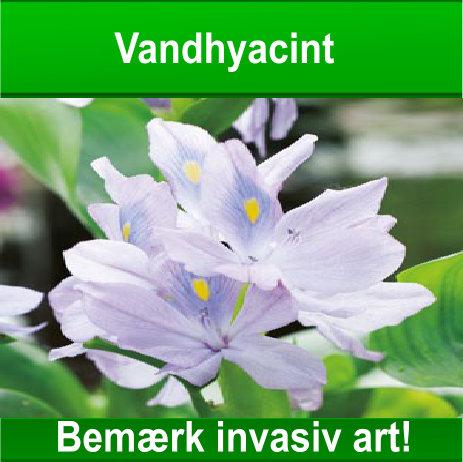 Vandhyacint – Bemærk invasiv art