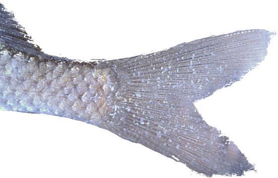 fiskedræber på fisk. ligner salt