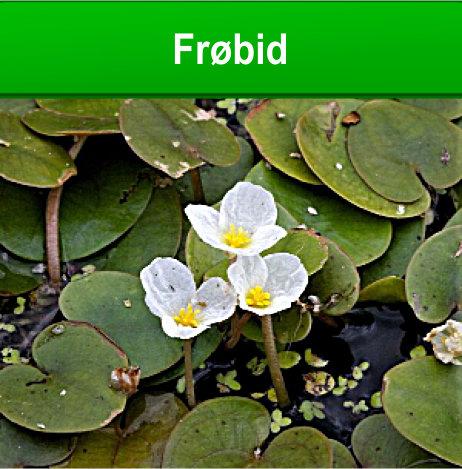 Frøbid - vandplante til Havedammen