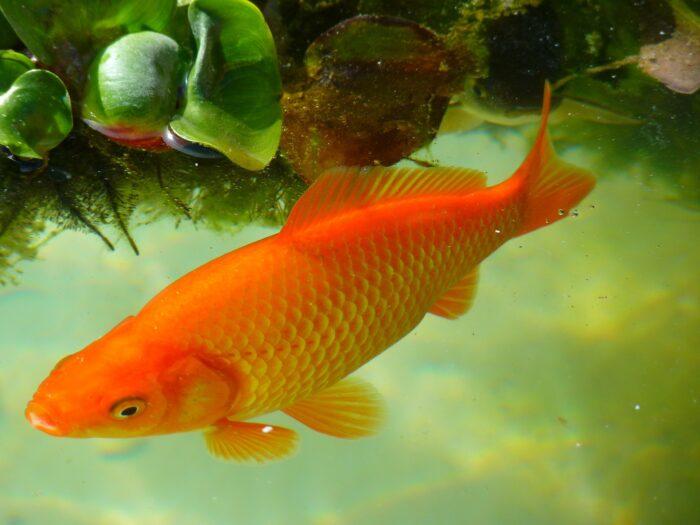 Guldfis i Havedam,bedst flere guldfisk i havedammen