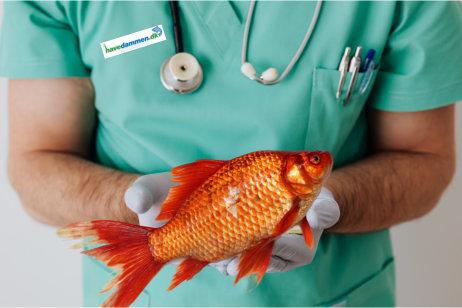 Syge fisk i havedam