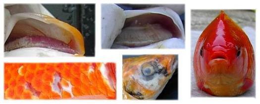 Syge havedams fisk billeder