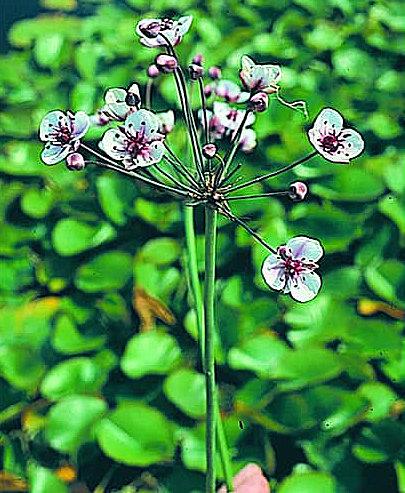 brudelys sumplante til Havedammen