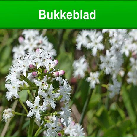 Bukkeblad - Menyanthes trifoliata - Foto Alois Grundner fra Pixabay