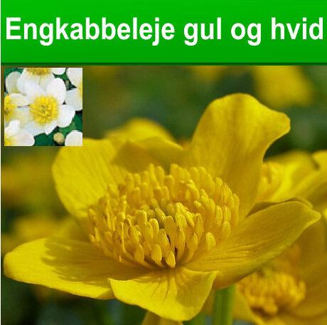 Engkabbeleje gul og hvid blomst