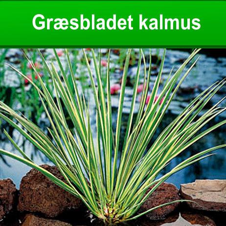 Græsbladet kalmus til havedammen