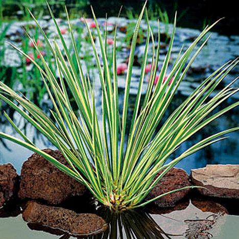 Græsbladet kalmus sumpplante til havebassin
