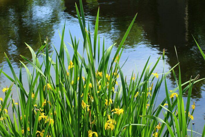 Gul Iris pseudacorus sumpplante