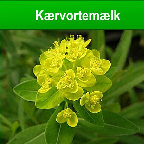 Kærvortemælk sumplante